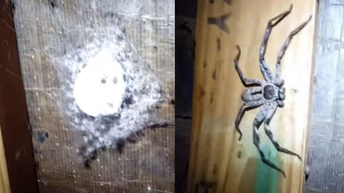 Huntsman-Spinnen