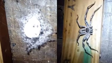 Frau stört hunderte Baby-Huntsman-Spinnen, dann taucht die Spinnen-Mutter auf