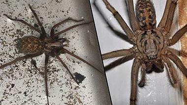 Europäische Haushalte: Invasion von 150 Millionen Spinnen erwartet