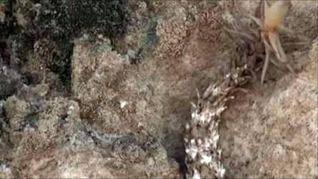 Die Spinnenschwanzviper wurde im Westen des Irans entdeckt