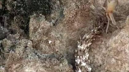 Die Spinnenschwanzviper wurde im Westen des Irans entdeckt - Foto: YouTube
