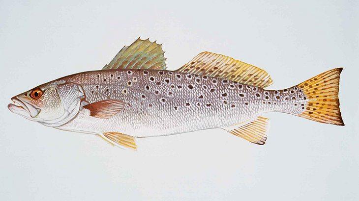 Dieser Fisch hat so laut Sex, dass andere Tiere taub werden