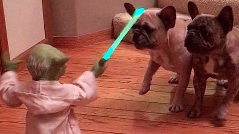 The Bark Side: Diese französischen Bulldoggen hassen Yoda