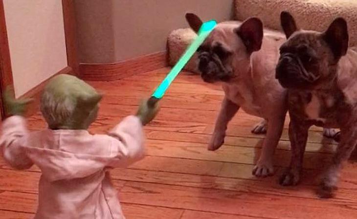Jedi-Meister Yoda kämpft mit zwei französischen Bulldoggen
