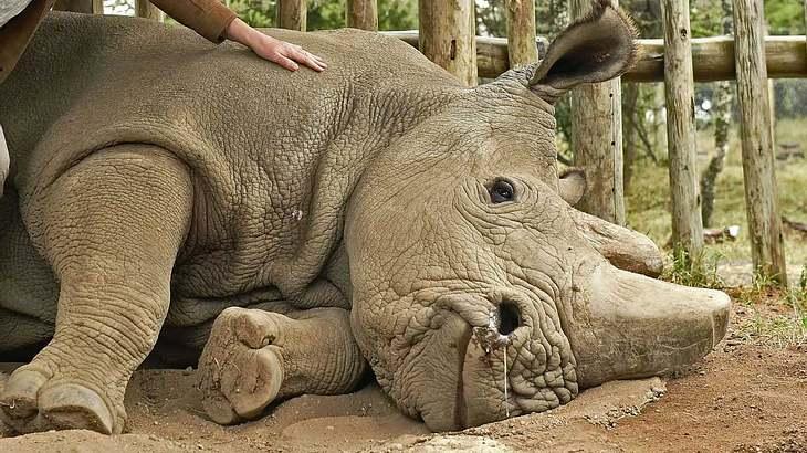 Breitmaulnashorn Sudan liegt im Sterben