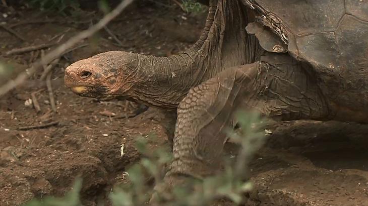 Diese Schildkröte hatte so viel Sex, dass sie damit ihre Spezies rettete