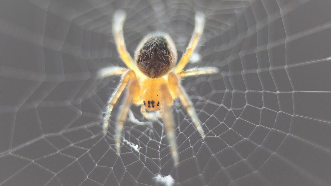 Europäische Wissenschaftler haben Super-Spinnen mit einem ultrastarken Netz kreiert