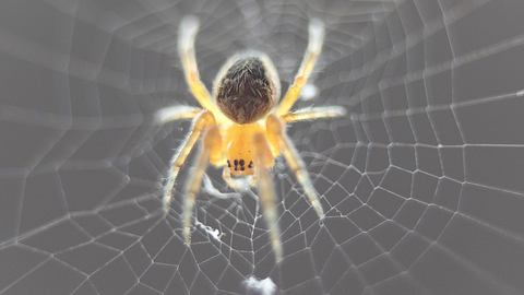 Wissenschaftler züchten Super-Spinnen mit ultrastarker Seide
