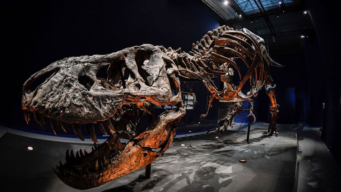 Skelett eines T-Rex - Foto: Getty Images /	STEPHANE DE SAKUTIN