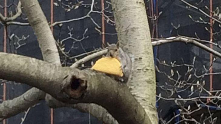 Eichhörnchen mit Taco