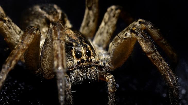 Giftige Kräuseljagdspinne überfällt Deutschland