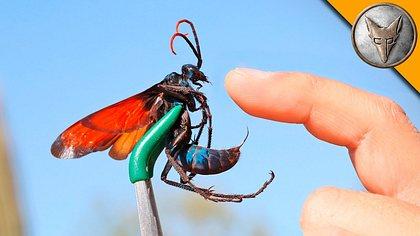 Der Stich des Tarantulafalken gilt als die Atombombe unter den Insektenstichen. - Foto: YouTube / Brave Wilderness
