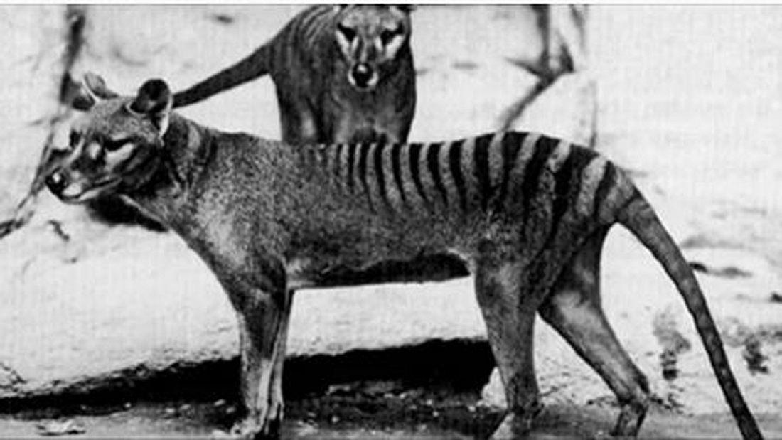 Der als ausgestorben geltende Tasmanische Tiger wurde angeblich wieder in Australien gesichtet