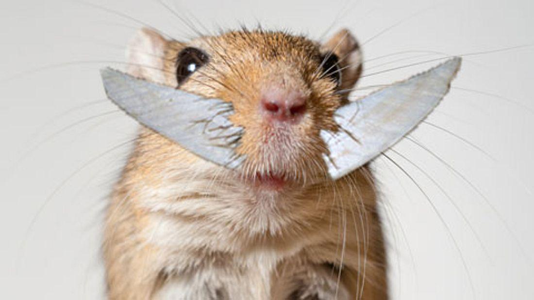 Hamster mit sehr großen Zähnen (Collage)