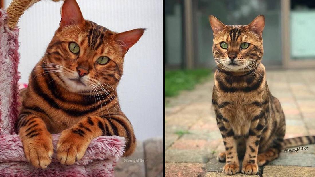 Thor, die vielleicht schönste Katze der Welt