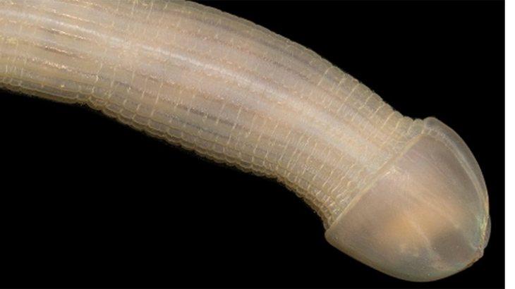 """Spritzwurm: Der """"Peanut Worm""""-Tiefseewurm sieht aus wie ein Penis"""