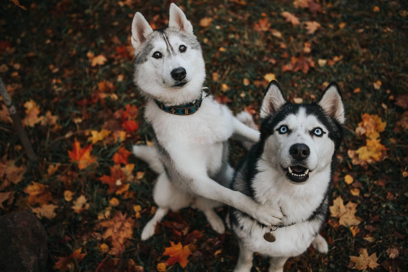 Zwei Huskys, die in die Kamera gucken