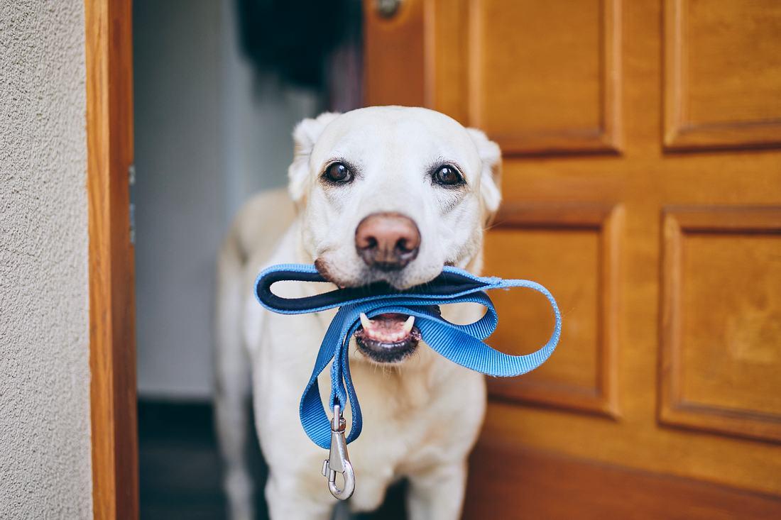 Hunde mit Leine im Maul