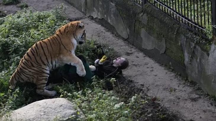 Tiger-Angriff: Zoowärterin entkommt nur knapp dem Tod
