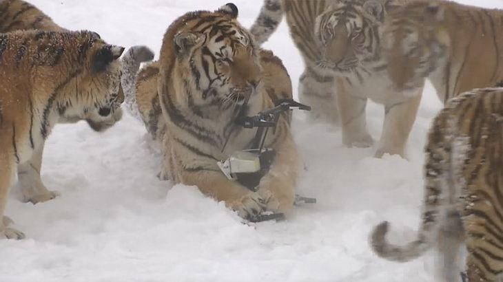 Tiger vs. Technik: Drohne verliert Kampf gegen Raubkatzen