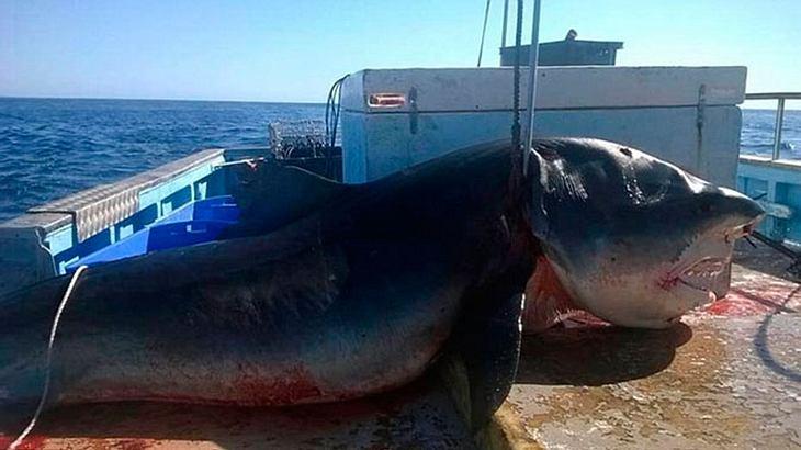 6 Meter: Ein gigantischer Tigerhai wurde vor der australischen Küste gefangen