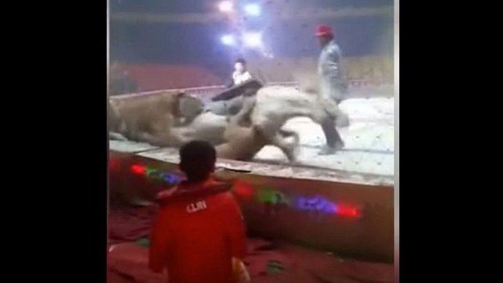 Zirkus-Drama: Löwe und Tiger zerfetzen Pferd