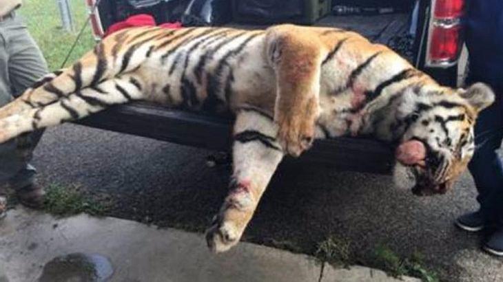 Polizei erschießt ausgebüxten Zirkus-Tiger