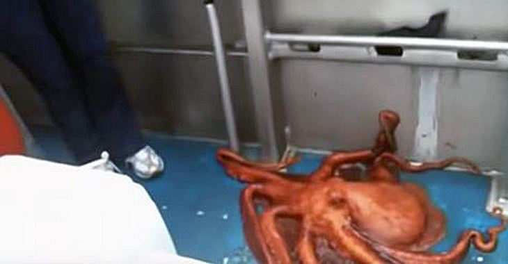 Dieser Tintenfisch entkommt von einem Fischerboot