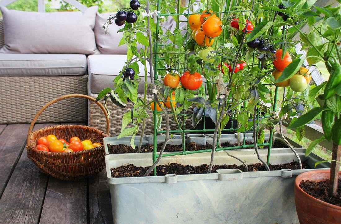 Tomatenzucht auf dem Balkon