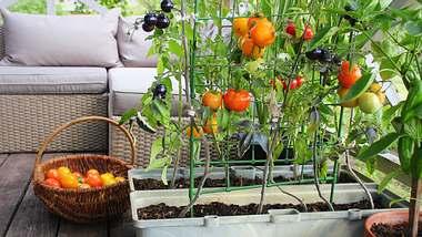 Tomatenzucht auf dem Balkon - Foto: iStock / Vaivirga