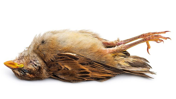 Toter Singvogel