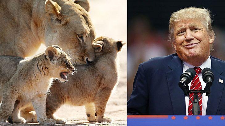 Trump kippt Gesetz, erlaubt Tötung von Löwen