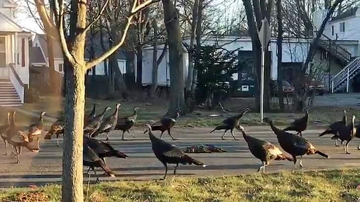 Eine Gruppe von Truthähnen umkreist eine tote Katze auf der Straße