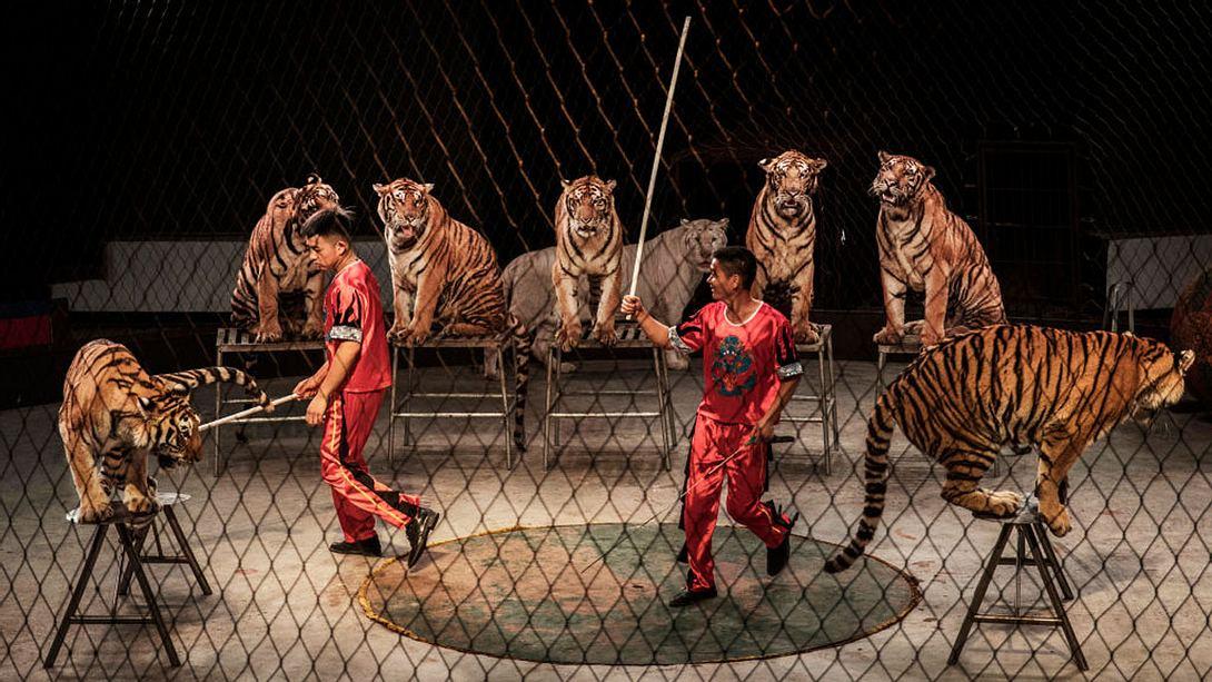 Zirkus-Gesetz: England verbietet Wildtier-Vorführungen