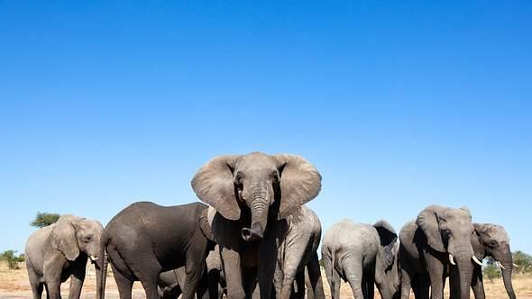 Vergiftet! Mysteriöser Tod von 300 Elefanten aufgeklärt