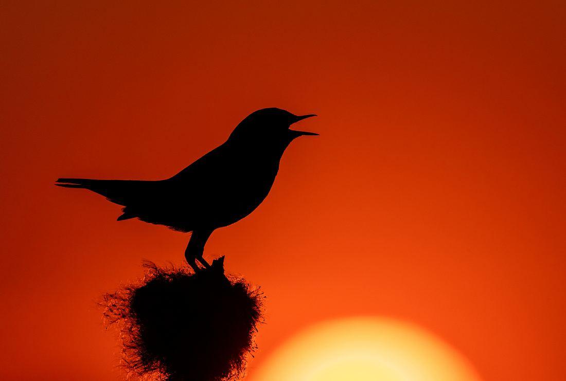 Ein Singvogel bei Sonnenuntergang