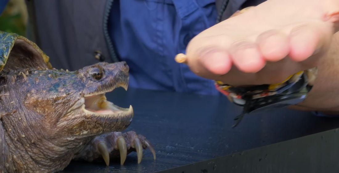Schnappschildkröte, kurz bevor sie in eine Hand beißt