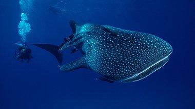 Der Walhai ist der größte Fisch der Welt - Foto: iStock / Tammy616