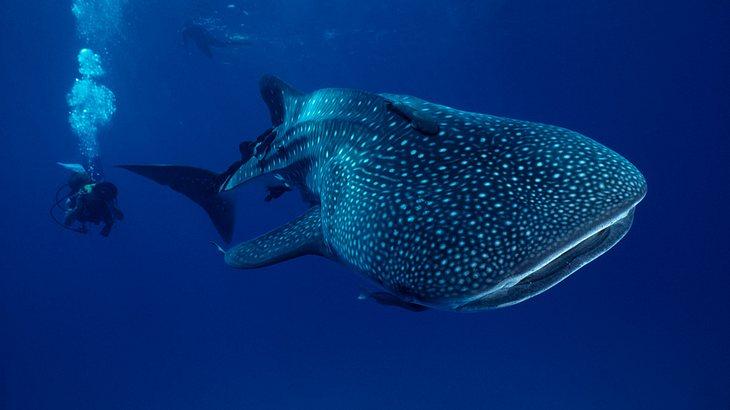 Der Walhai ist der größte Fisch der Welt