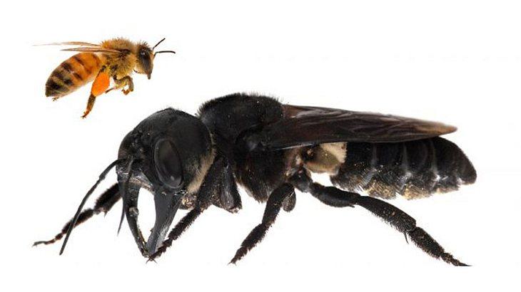 Die Wallace-Riesenbiene ist fast viermal größer als eine europäische Biene