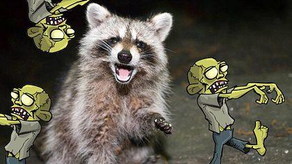 Waschbären-Zombie-Apokalypse - Foto: iStock / eddtoro, antonbrand
