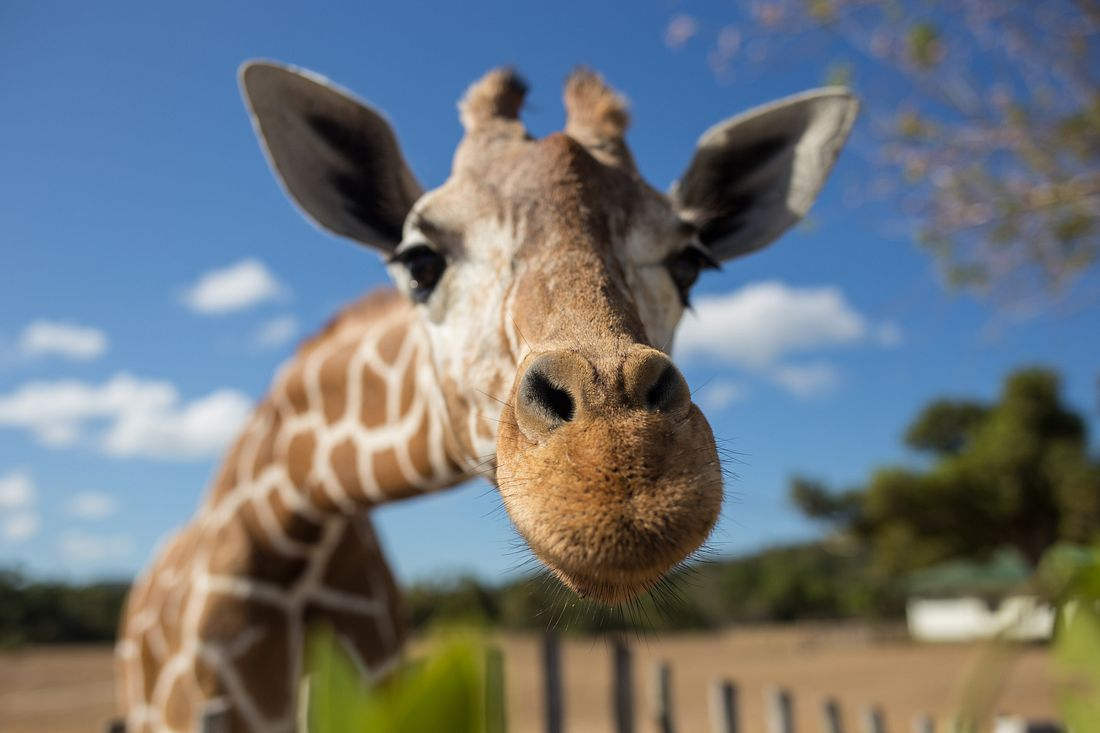 Giraffe guckt in die Kamera