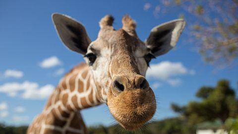Giraffe guckt in die Kamera - Foto: iStock / Wassiliy