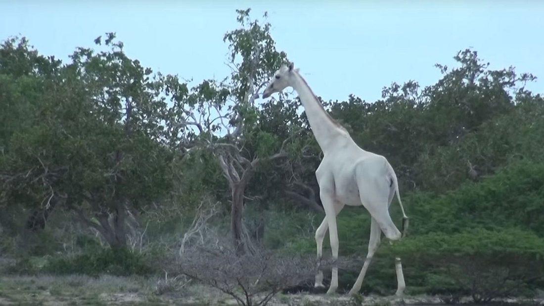 Weiße Giraffe in Kenia