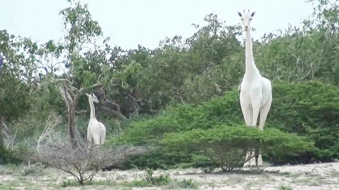 Von Wilderen getötet: Die weltweit einzige weiße Giraffe und ihr Junges