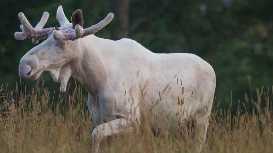 50.000 kämpften für ihn: Der weiße Elch darf weiterleben!