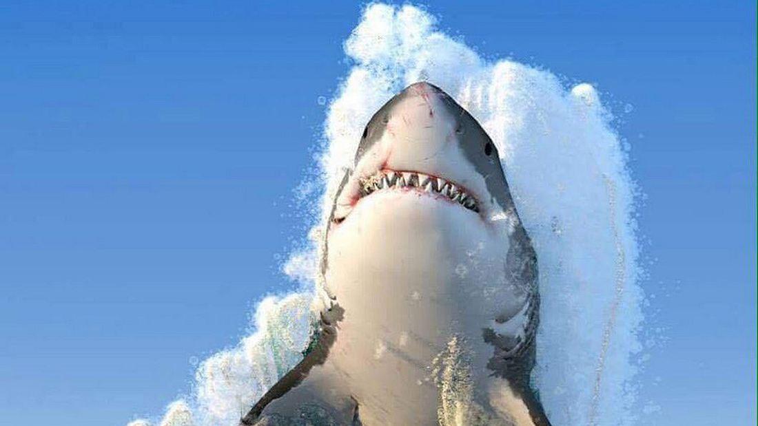 Tippen Sie die 8 ein: Weißer Hai wird zum Internet-Phänomen