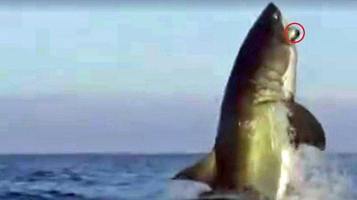 Was hat dieser gigantische Weiße Hai im Maul?