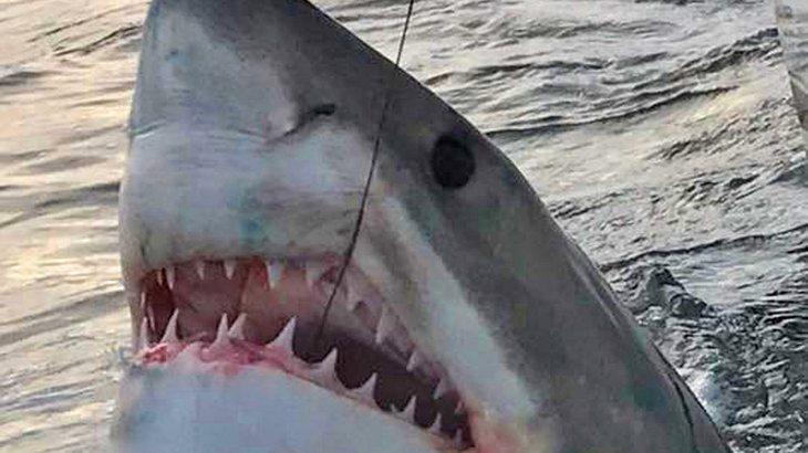 Weisser Hai: Fischer angeln Meeres-Monster in Australien