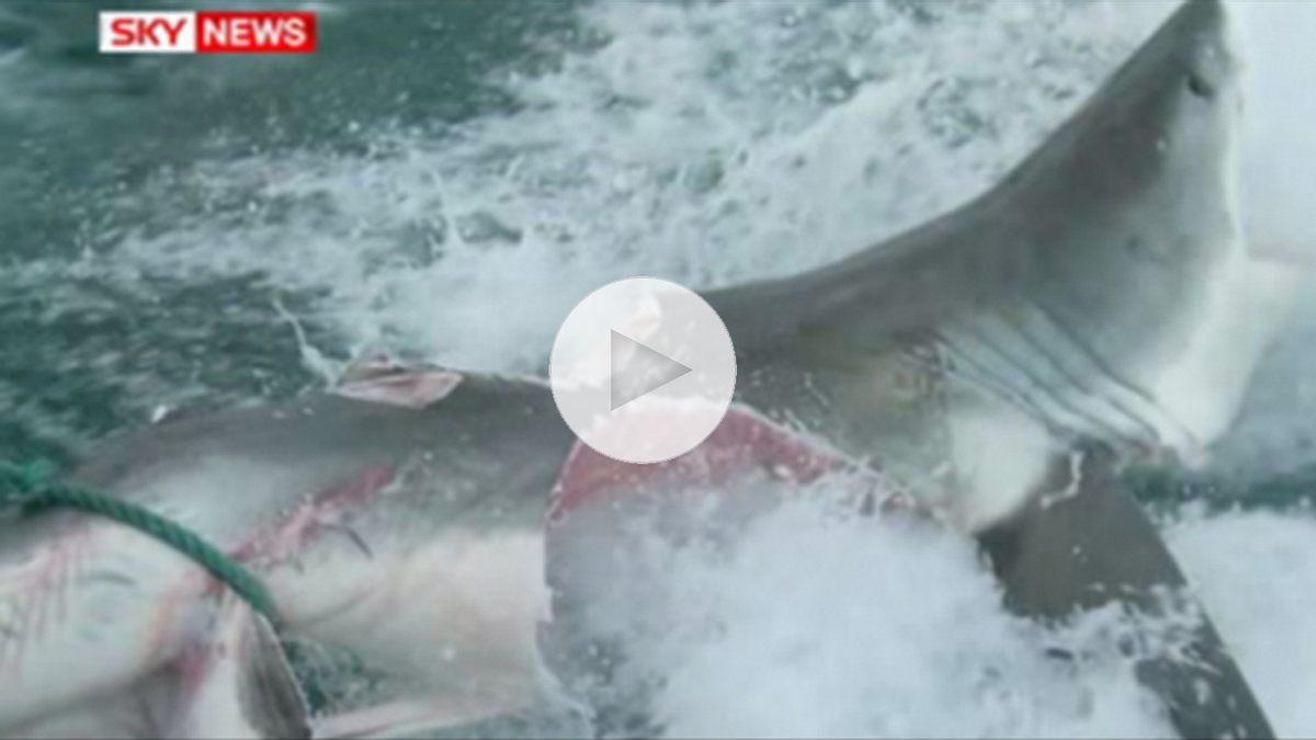Monster-Shark beißt Weißen Hai in zwei Hälften